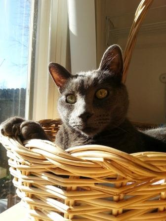 grey cat in a basket